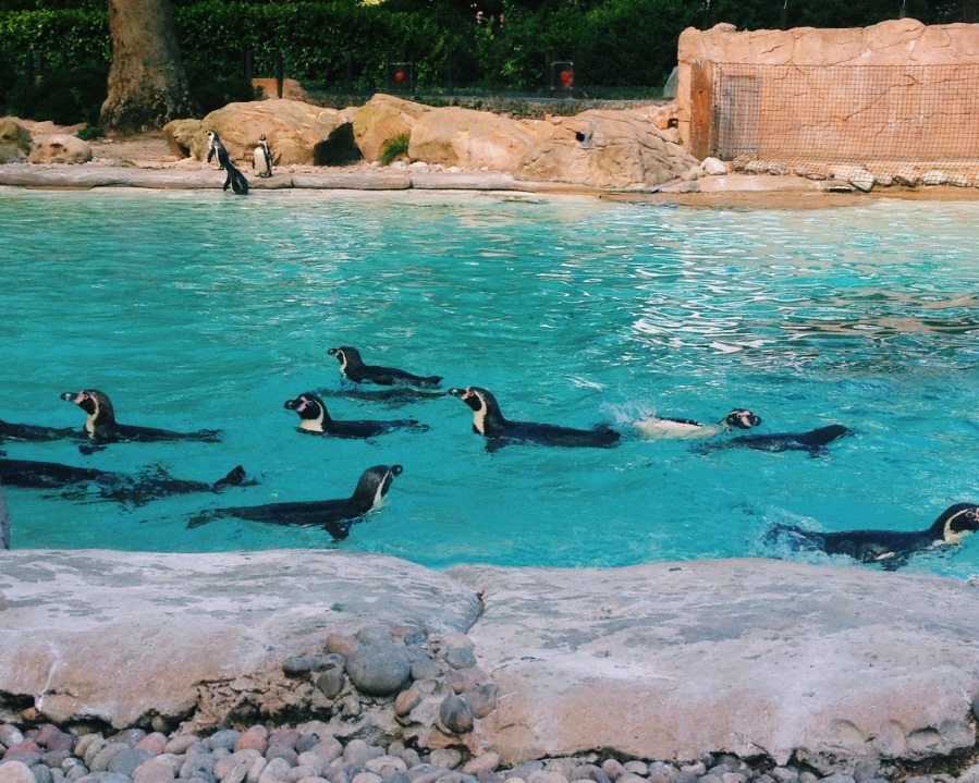 zsl-penguins-swimming