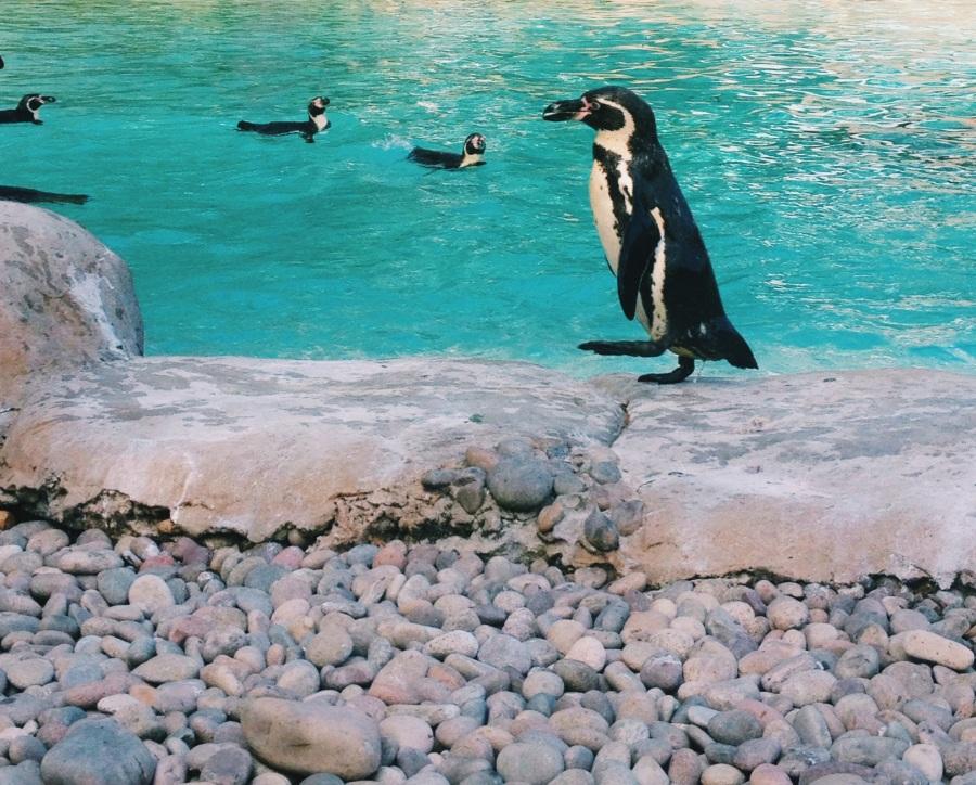 zsl-penguin