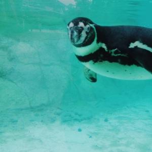 zsl-penguin-closeup