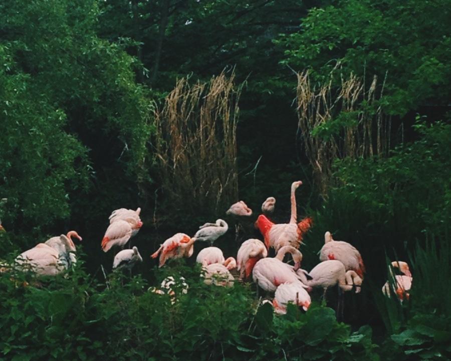 zsl-flamingos